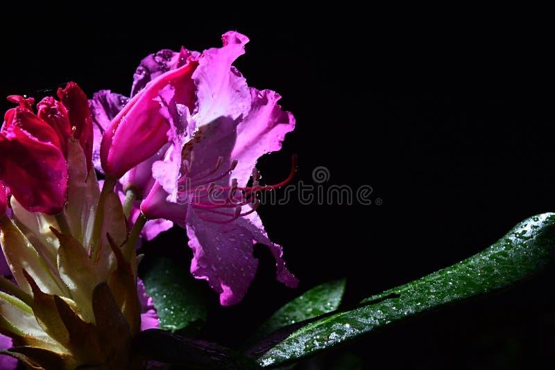 Flor roxa do rododendro com estame prolongado e gotas da água nas pétalas e nas folhas que tomam sol no sol da mola, fundo preto imagem de stock