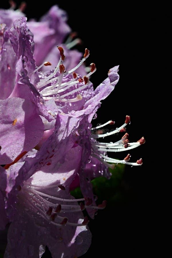 Flor roxa do rododendro com estame prolongado e gotas do banho de sol da água no sol da mola, fundo preto fotografia de stock royalty free