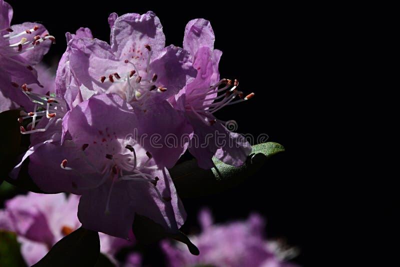 Flor roxa do rododendro com o banho de sol prolongado do estame no sol da mola, fundo preto fotografia de stock