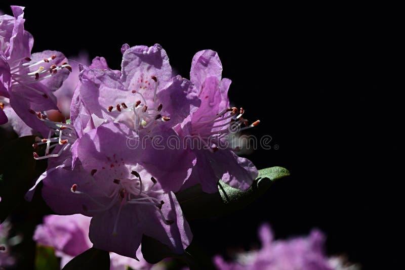 Flor roxa do rododendro com o banho de sol prolongado do estame no sol da mola, fundo preto foto de stock royalty free