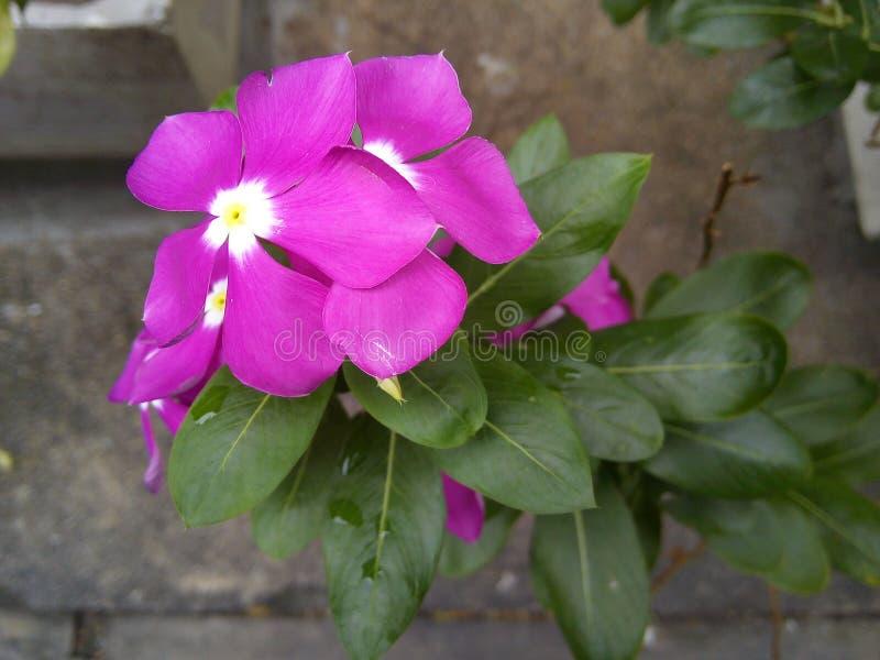 Flor roxa do roseus do Catharanthus imagem de stock