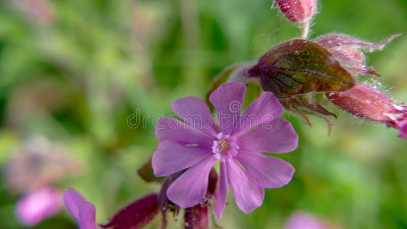 Flor roxa do siboldii da pr?mula do prado selvagem fotos de stock royalty free