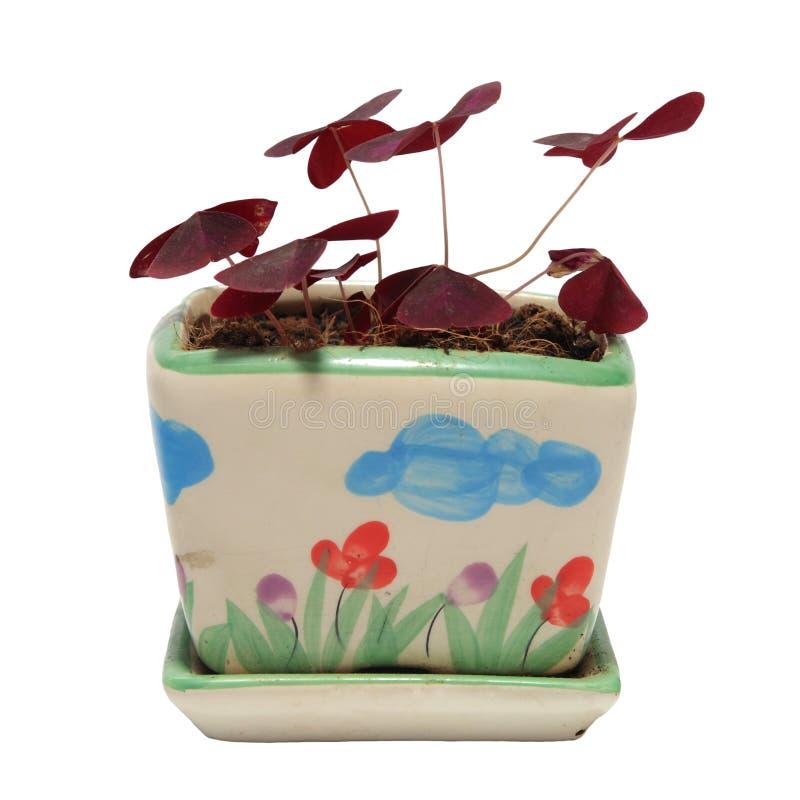 Flor roxa do trevo no potenciômetro isolado no branco fotografia de stock