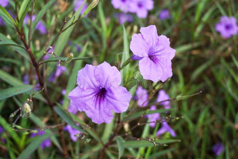 Flor roxa do tuberosa de Ruellia foto de stock