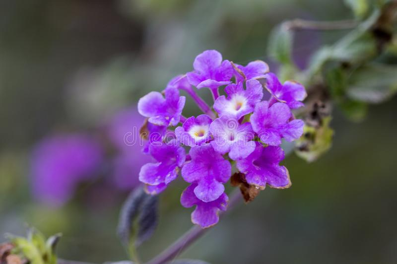 Flor roxa do verbena fotos de stock royalty free