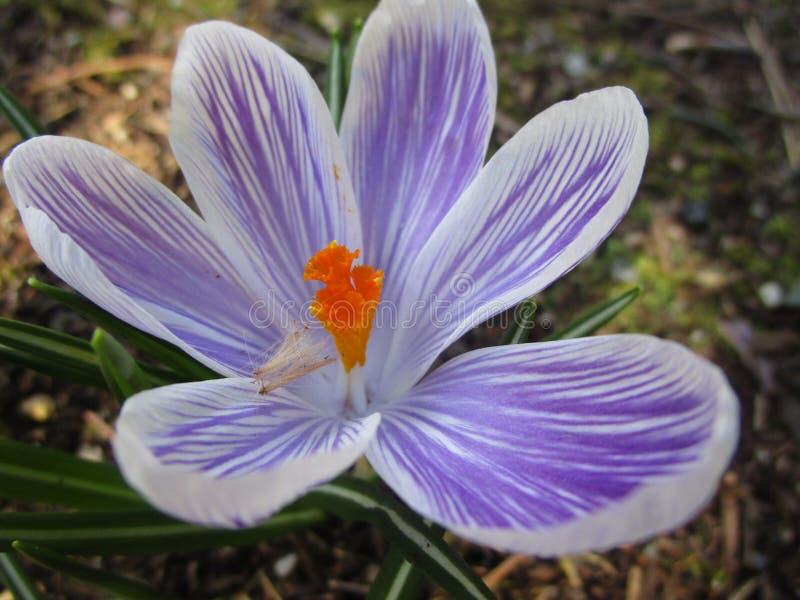 Flor roxa doce atrativa brilhante do açafrão de Whitewell da cor clara que floresce na meados de-mola em um jardim 2019 imagem de stock royalty free
