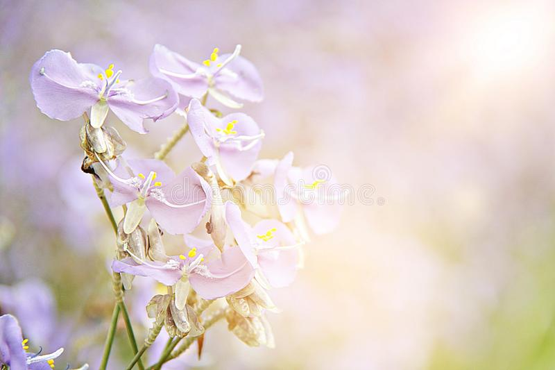 A flor roxa doce no fim do campo acima, len o efeito do alargamento, foco macio, borrão fotografia de stock royalty free