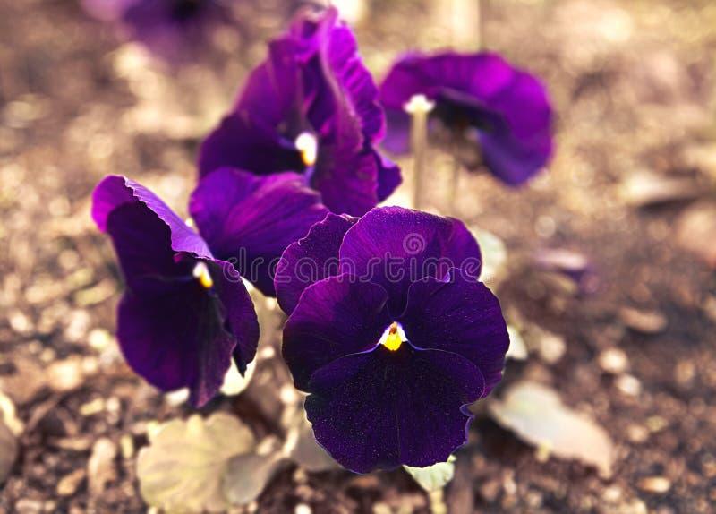 Flor roxa dos Pansies na cama de flor na primavera, fundo macro floral foto de stock