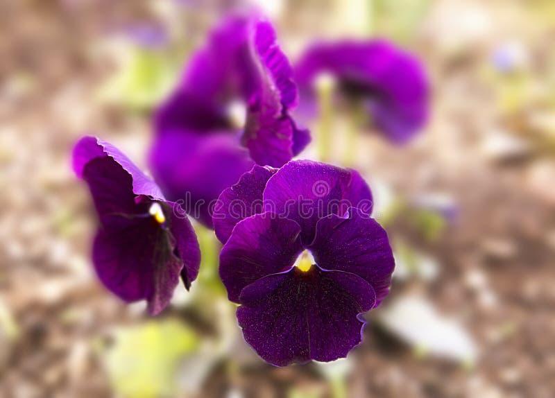 Flor roxa dos Pansies na cama de flor na primavera, fundo macro floral imagem de stock