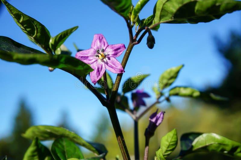 Flor roxa dos pimentões no jardim fotos de stock