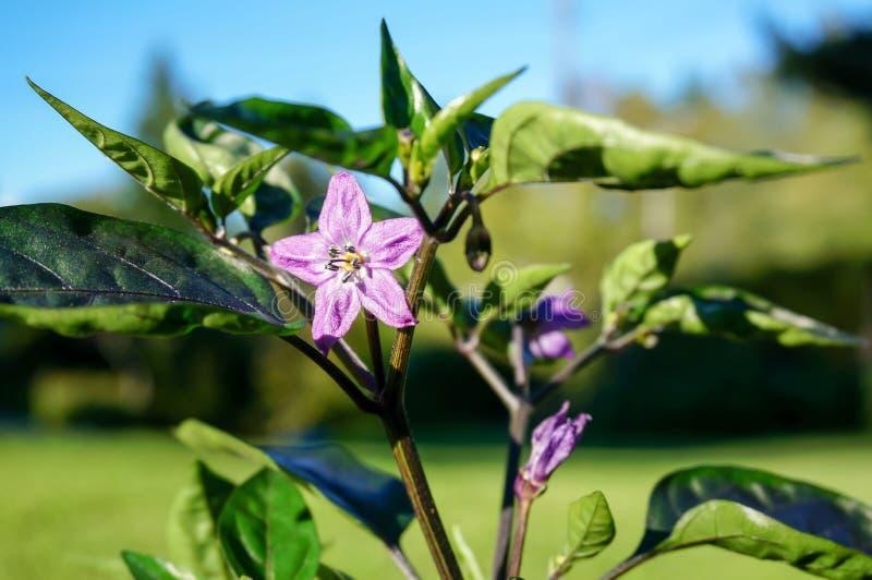 Flor roxa dos pimentões no jardim fotografia de stock royalty free
