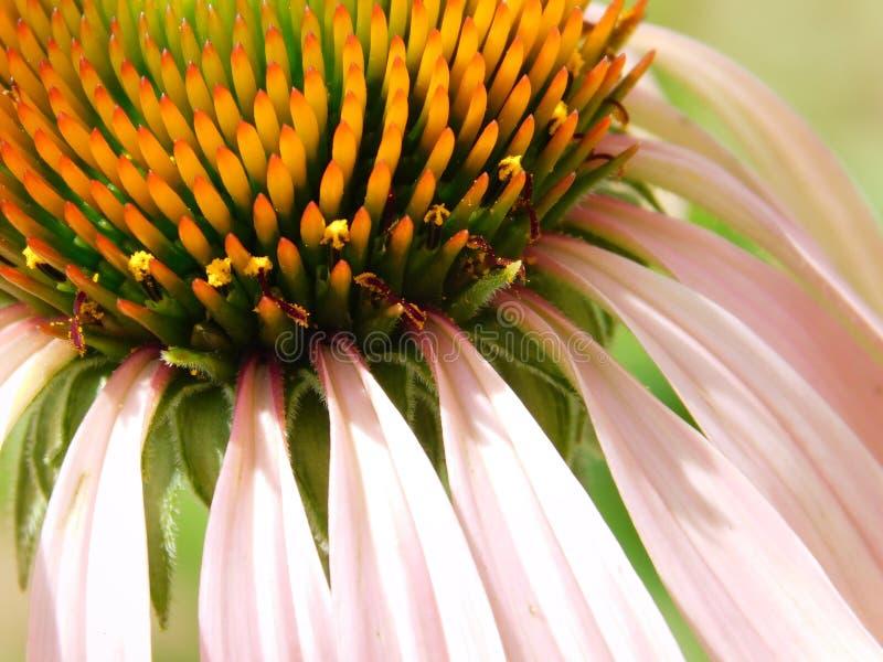 Flor roxa e alaranjada pequena bonita imagem de stock
