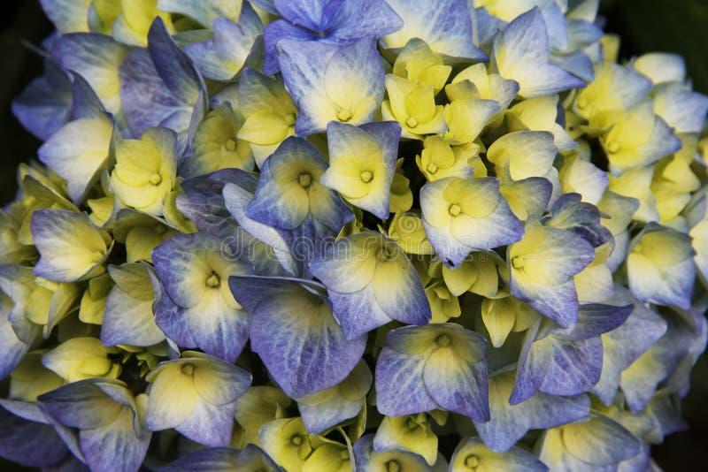 Flor roxa e amarela colorida bonita imagens de stock royalty free
