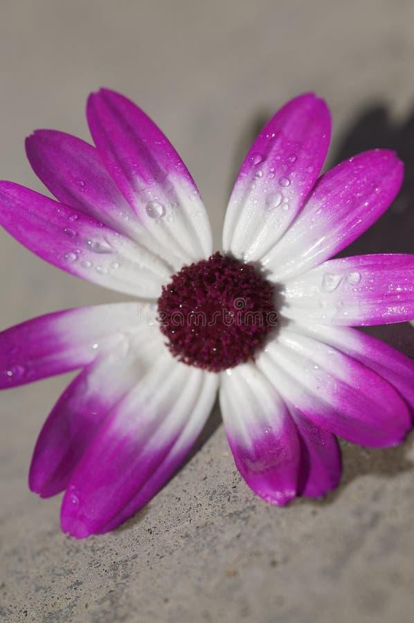 Flor roxa e branca fotos de stock royalty free
