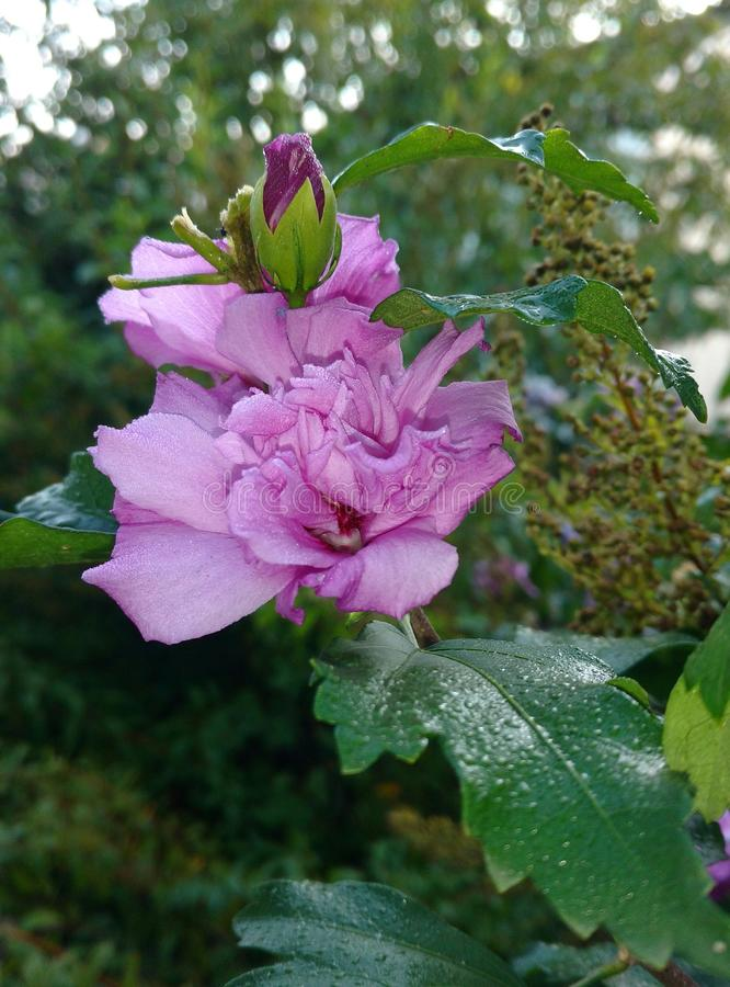 Flor roxa II foto de stock