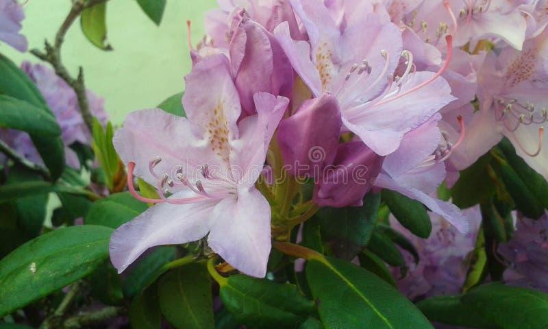 Flor roxa macia imagem de stock royalty free