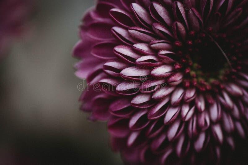Flor roxa na flor imagem de stock