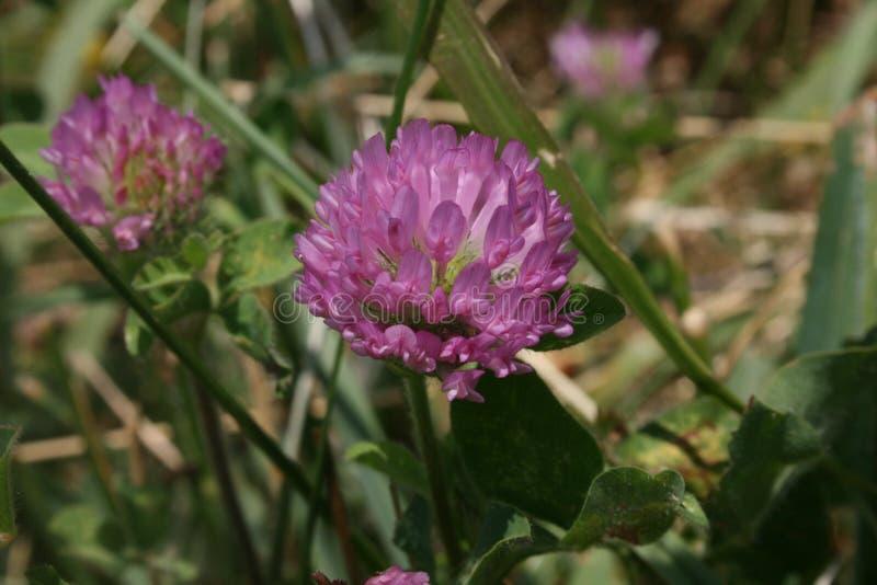 Flor roxa na flor fotos de stock royalty free