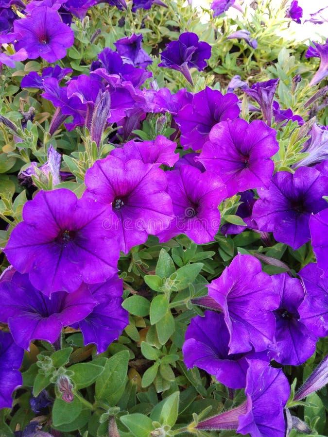 Flor roxa no jardim fotos de stock royalty free