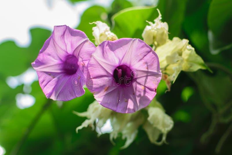 Flor roxa Supertunia fotografia de stock