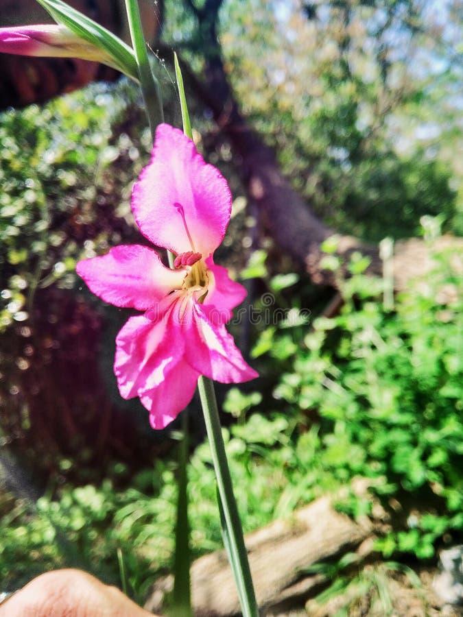 Flor só cor-de-rosa fotografia de stock royalty free