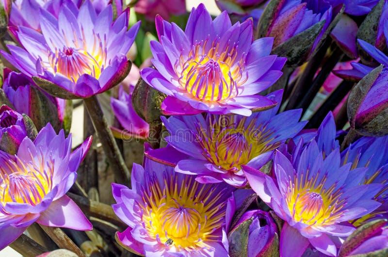 Flor sagrada del este una violeta del loto con el centro amarillo imagen de archivo