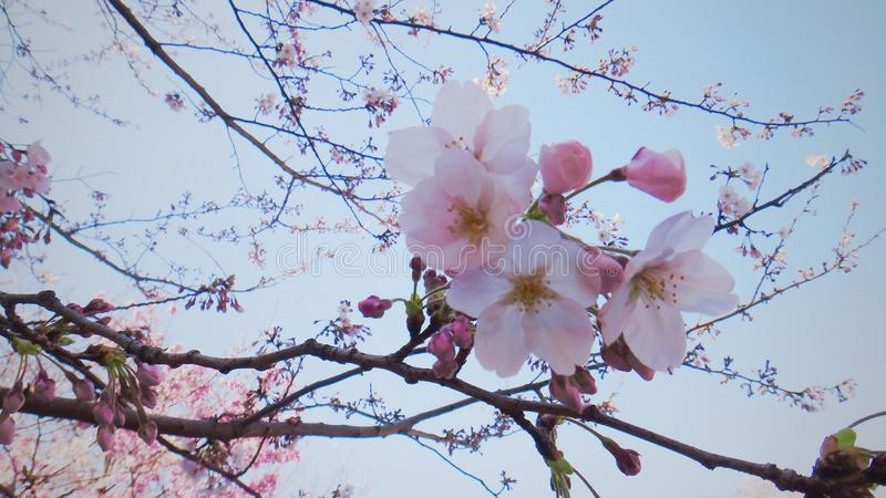 flor sakura imagens de stock