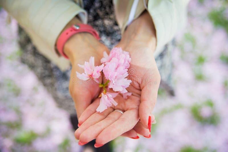Flor Sakura nas mãos da jovem fotos de stock royalty free