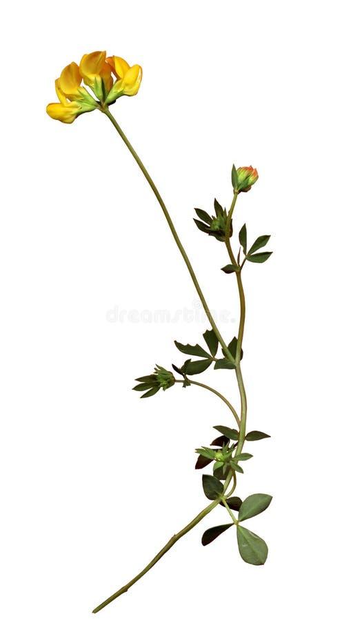 Download Flor salvaje 1 foto de archivo. Imagen de blanco, amarillo - 189840