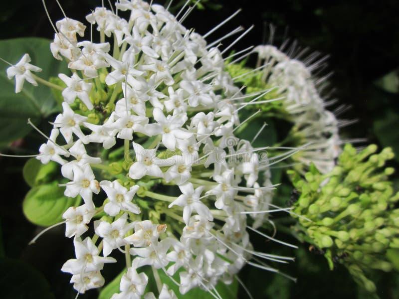 Flor salvaje blanca como la nieve de Assam fotografía de archivo