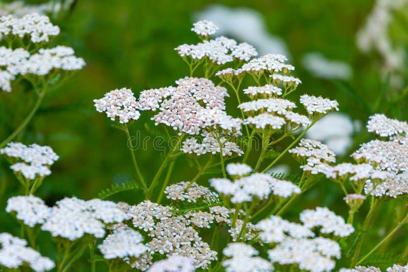 Flor salvaje blanca de la milenrama del millefolium de Achillea fotos de archivo