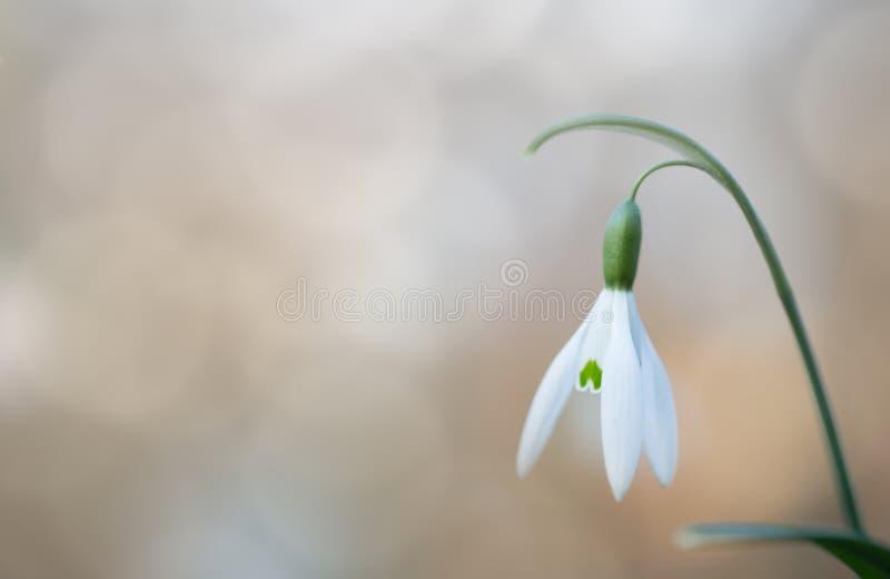 Flor salvaje blanca de la primavera temprana del descenso de la nieve fotografía de archivo libre de regalías