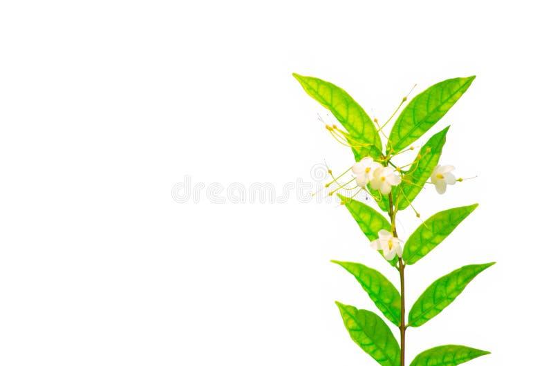 Flor salvaje blanca delicada del religiosa de Plum Wrightia del agua con las hojas del verde aisladas en el fondo blanco imágenes de archivo libres de regalías