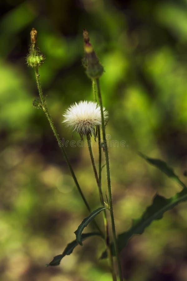 Flor salvaje blanca en el fondo borroso 1 foto de archivo libre de regalías