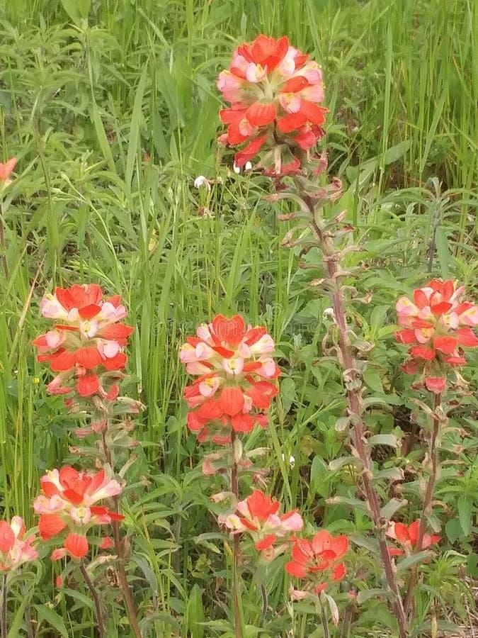 Flor salvaje, brocha india, rojo y rosado fotos de archivo libres de regalías