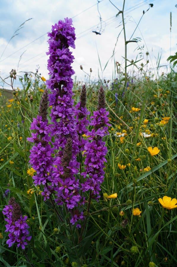Flor salvaje con una inflorescencia larga de flores púrpuras imagen de archivo libre de regalías