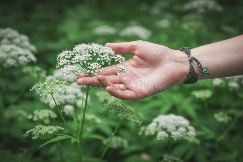 Flor salvaje conmovedora del prado de la mano de la mujer fotografía de archivo libre de regalías