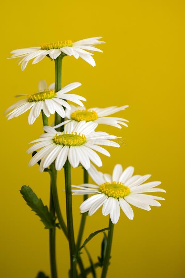 Flor salvaje de los prados del vulgare del Leucanthemum con los pétalos blancos y centro amarillo en la floración en fondo amaril fotos de archivo libres de regalías