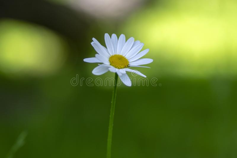 Flor salvaje de los prados del vulgare del Leucanthemum con los pétalos blancos y centro amarillo en la floración, planta hermosa fotografía de archivo libre de regalías