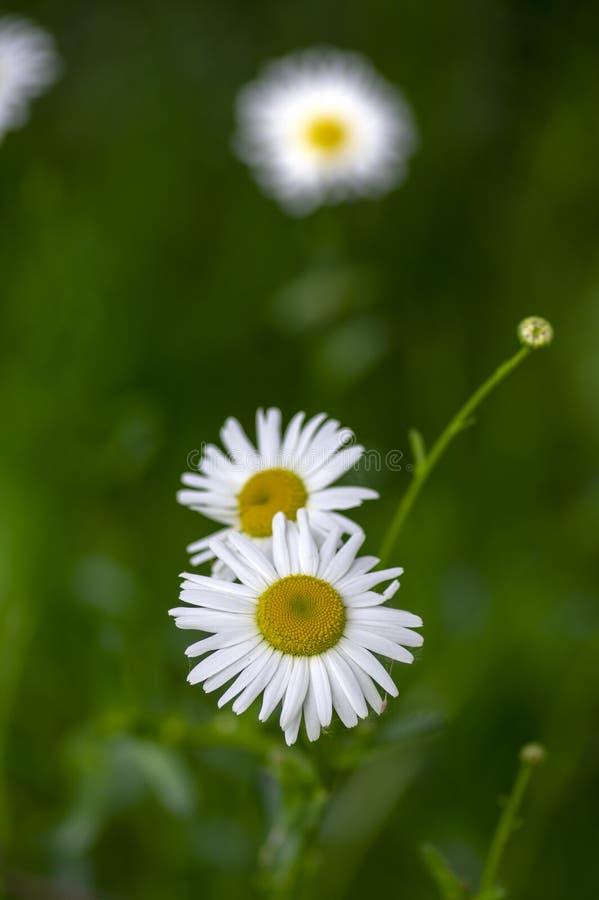 Flor salvaje de los prados del vulgare del Leucanthemum con los pétalos blancos y centro amarillo en la floración, planta hermosa fotos de archivo libres de regalías
