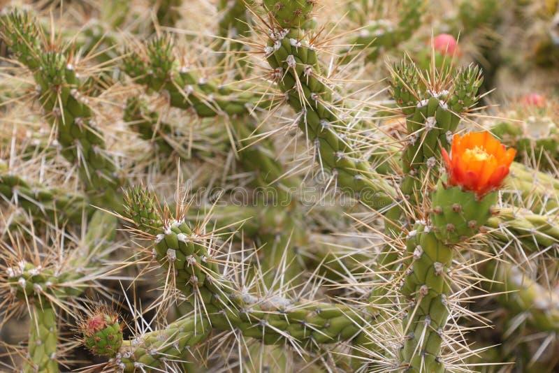Flor salvaje del cactus del desierto En alguna parte en Bolivia imagen de archivo