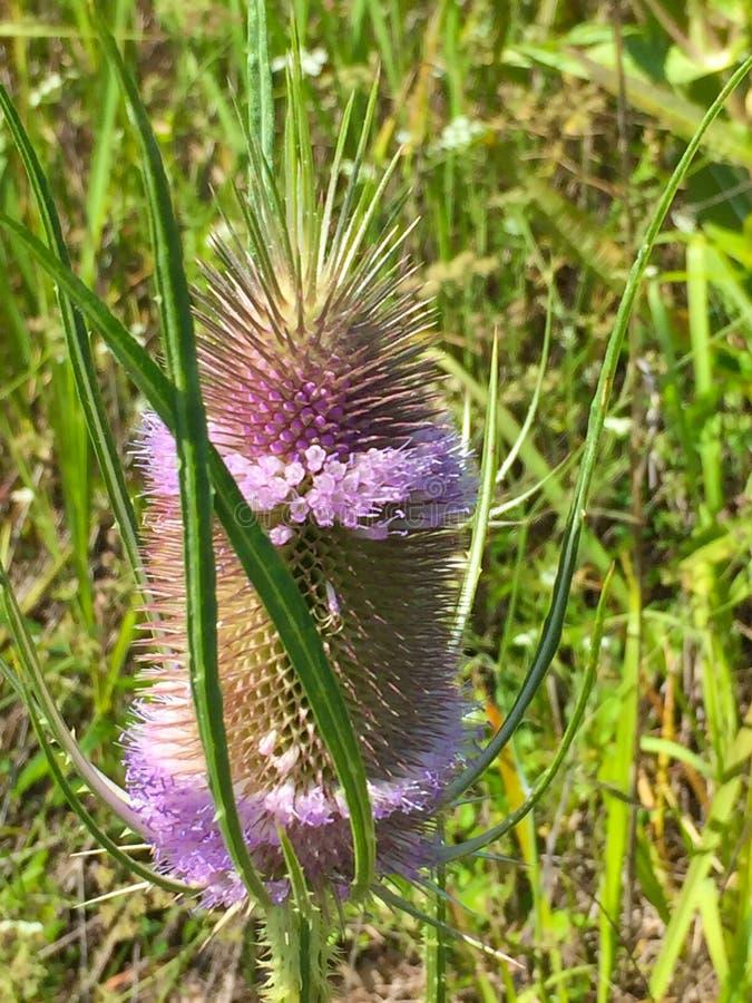 Flor salvaje del cardo imagen de archivo