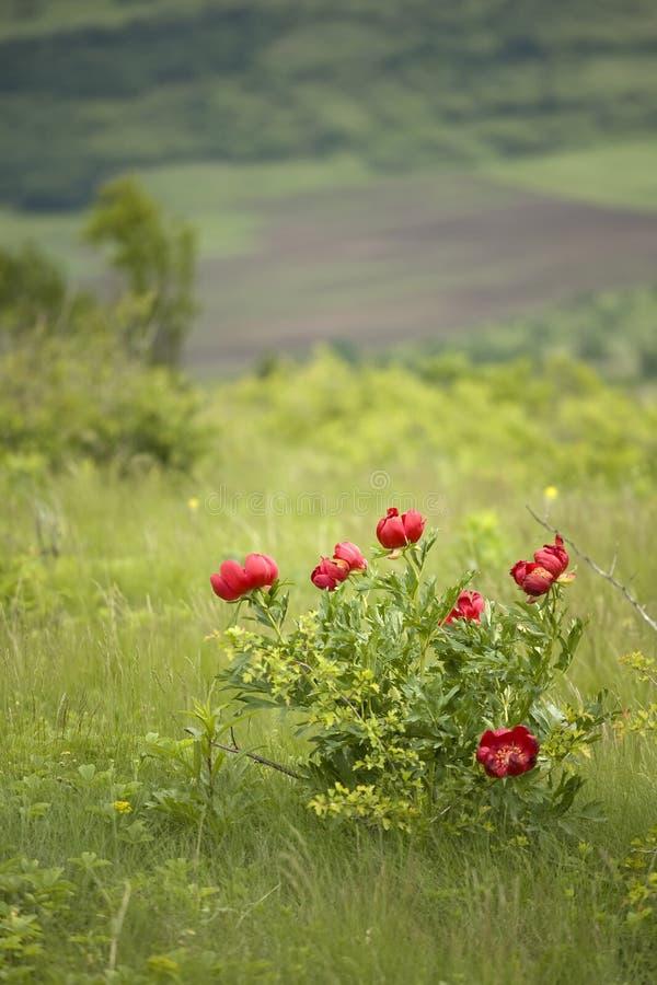 Flor salvaje del peony imagenes de archivo