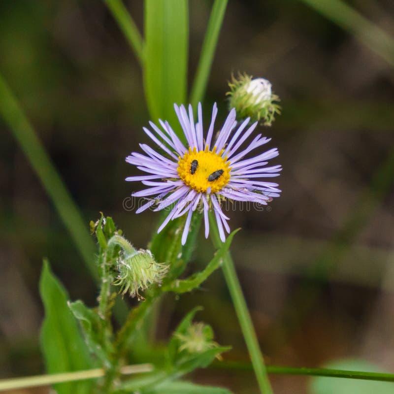 Flor salvaje del prado con los insectos en el bosque fotografía de archivo libre de regalías