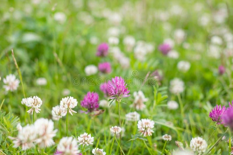 Flor salvaje del trébol del rosa del prado en hierba verde en campo en la luz del sol suave natural, estación de verano, vintage  imagen de archivo
