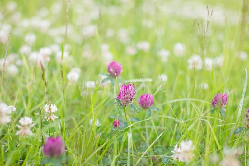 Flor salvaje del trébol del rosa del prado en hierba verde en campo en la luz del sol suave natural, estación de verano, vintage  fotografía de archivo