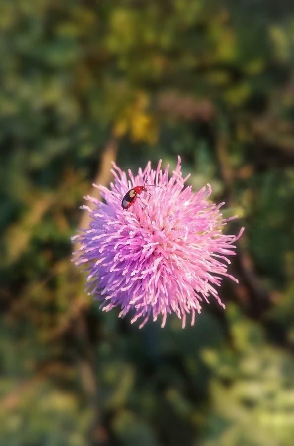 flor salvaje e insectos rosados foto de archivo libre de regalías