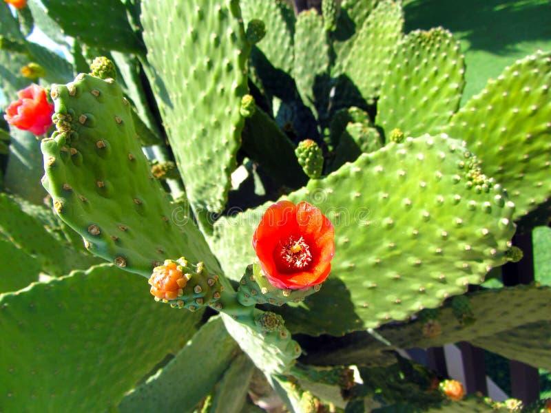 Flor salvaje floreciente hermosa del cactus del desierto imagen de archivo
