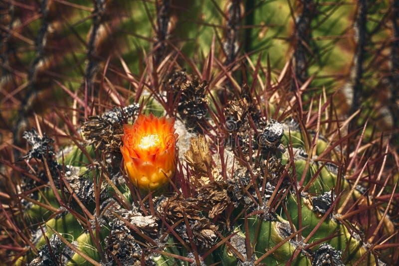 Flor salvaje floreciente hermosa del cactus del desierto foto de archivo libre de regalías