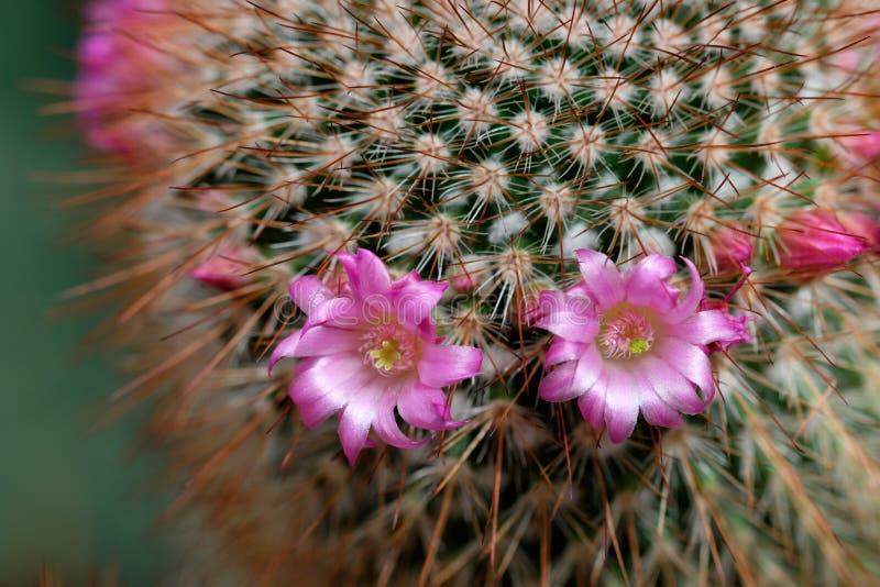 Flor salvaje hermosa del cactus del desierto imagenes de archivo